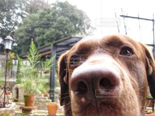 カメラを見ている犬の写真・画像素材[2269213]
