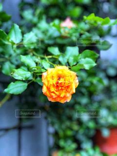 気まぐれに咲くの写真・画像素材[2269663]