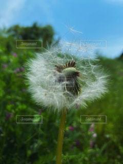 風に舞う綿毛の写真・画像素材[3157740]