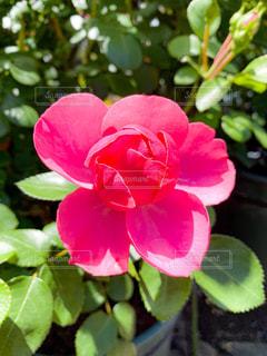 ローズピンクの写真・画像素材[3219796]