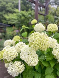 梅雨の花の写真・画像素材[3312407]