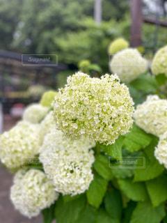 梅雨の花の写真・画像素材[3312408]