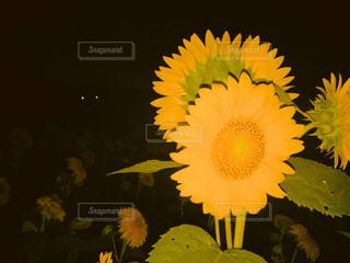 夜のひまわり畑の写真・画像素材[972363]