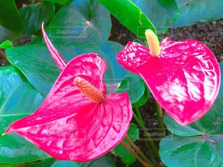 ハワイにての写真・画像素材[972366]