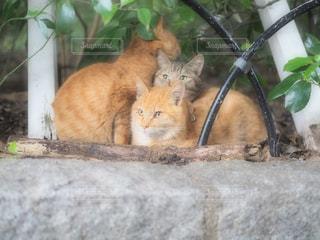 猫の写真・画像素材[972149]