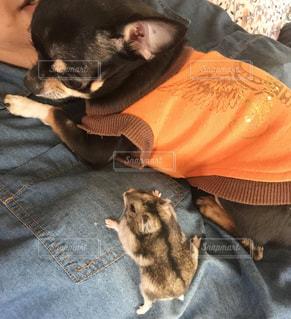 人に貼りついている犬とハムスターの写真・画像素材[972092]