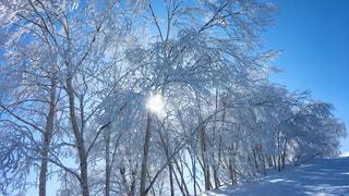 雪に覆われた木の写真・画像素材[972188]