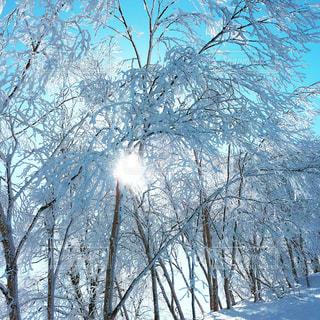 雪の木の写真・画像素材[972190]
