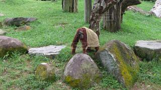 布を被るオラウータンの写真・画像素材[973013]