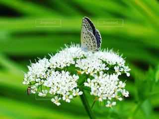 シジミチョウと花の写真・画像素材[972707]
