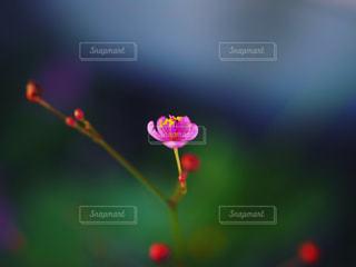 小さなピンクの花の写真・画像素材[975270]