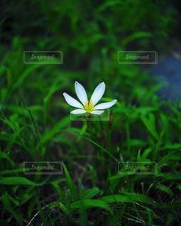 たたずむ白い花の写真・画像素材[975274]