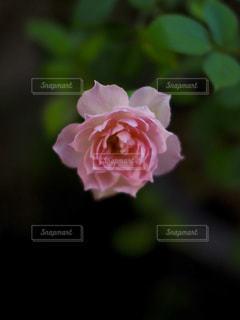 夕方のバラの写真・画像素材[976576]