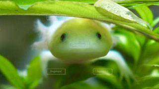 葉っぱの下のウーパールーパーの写真・画像素材[995127]