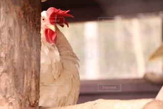覗いている鶏の写真・画像素材[1018248]