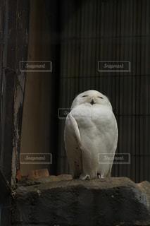 シロフクロウの写真・画像素材[1109531]