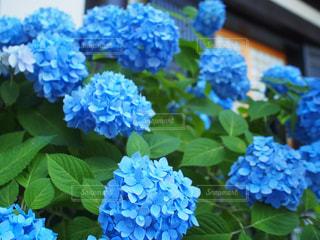 青いあじさいの写真・画像素材[972870]