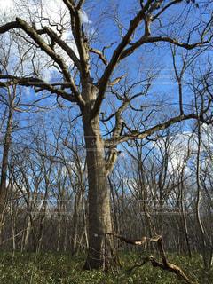 森の大きな木の写真・画像素材[980822]