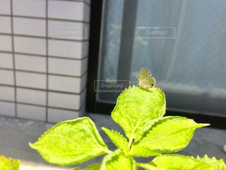 蝶々の写真・画像素材[973339]