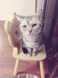 椅子に座って猫の写真・画像素材[973655]