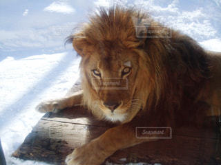 雪冷たい by ライオンの写真・画像素材[973673]