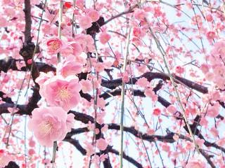 日本の四季 梅の写真・画像素材[977673]