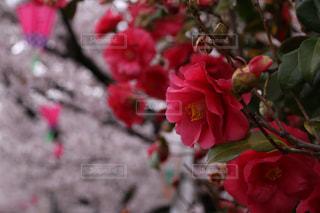 冬から春への写真・画像素材[1072506]