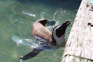 泳ぐペンギンの写真・画像素材[1073390]