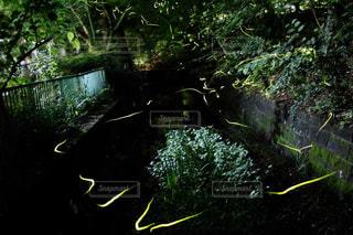 蛍の軌跡の写真・画像素材[1074544]