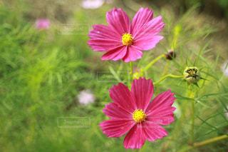 コスモスの花と蕾 - No.1075637