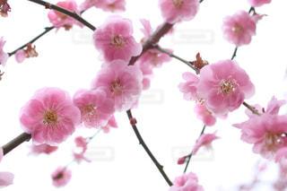 梅の花の写真・画像素材[1076366]