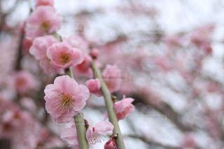 薄紅色の梅の花 - No.1077355