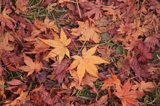モミジの落ち葉の写真・画像素材[1077360]