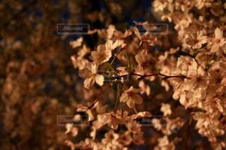 鶴舞公園(名古屋)の夜桜の写真・画像素材[1092414]