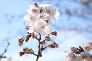 咲き始めの桜の写真・画像素材[1092442]