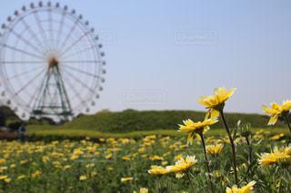 黄色い花と観覧車の写真・画像素材[1163226]