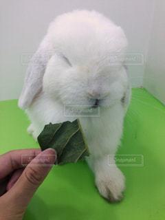 ちょっとふてぶてしいウサギの写真・画像素材[1180628]
