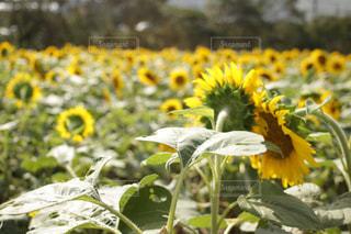 顔を寄せ合うような向日葵の写真・画像素材[1522028]
