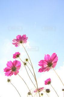 青空に向かって咲くコスモスの写真・画像素材[1596622]