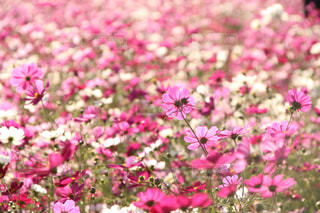 コスモス畑の写真・画像素材[1596633]