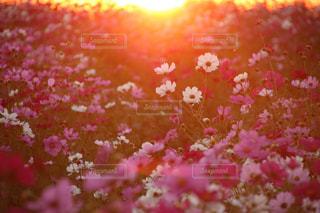 夕日に染まるコスモス畑の写真・画像素材[1596635]