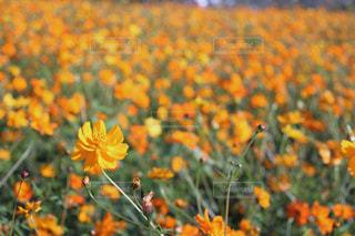 キバナコスモスの畑の写真・画像素材[1596641]