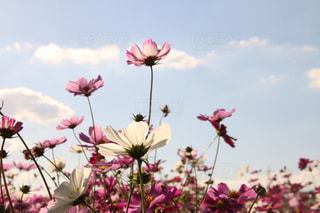 空に向かって咲くコスモスの写真・画像素材[1607214]