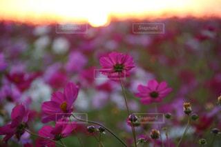 夕陽を浴びたコスモスの写真・画像素材[1607223]