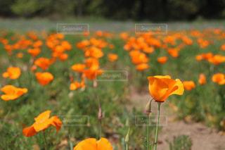 オレンジ色のポピーの写真・画像素材[1645529]