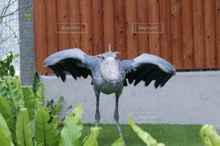 飛ぶ直前のハシビロコウの写真・画像素材[2186086]