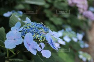 紫陽花のアップの写真・画像素材[2215012]