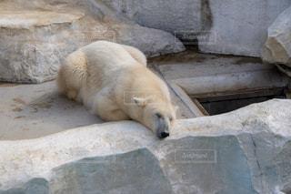 動物園のホッキョクグマの写真・画像素材[2951353]