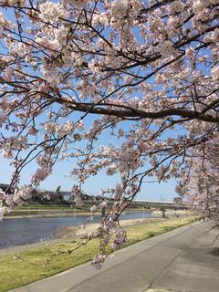 河原の桜の写真・画像素材[975648]
