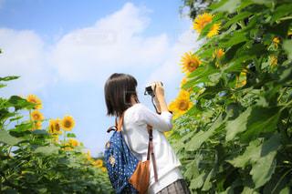 ひまわりを撮る女子高生の写真・画像素材[1417496]